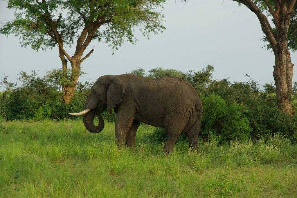 Elephant in Queen Elizabeth NP Uganda Gorilla Trekking, Wildlife Safari in Lake Mburo & Queen Elizabeth NP, Kyambura Chimps trek- 6 Days