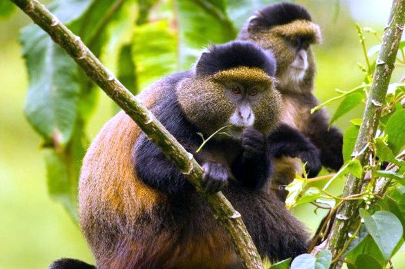 Golden monkey habituation experience gorilla primate chimps habituation tour safari uganda Gorillas and Wildlife Safaris