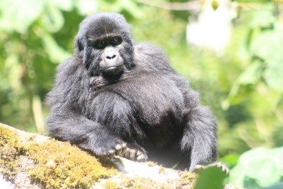 Bikingi Gorilla Family member - for Gorilla Habituation Experience Bwindi Uganda primate safari gorilla tracking chimp monkeys safari, uganda all primates safari, primates Uganda safari gorilla