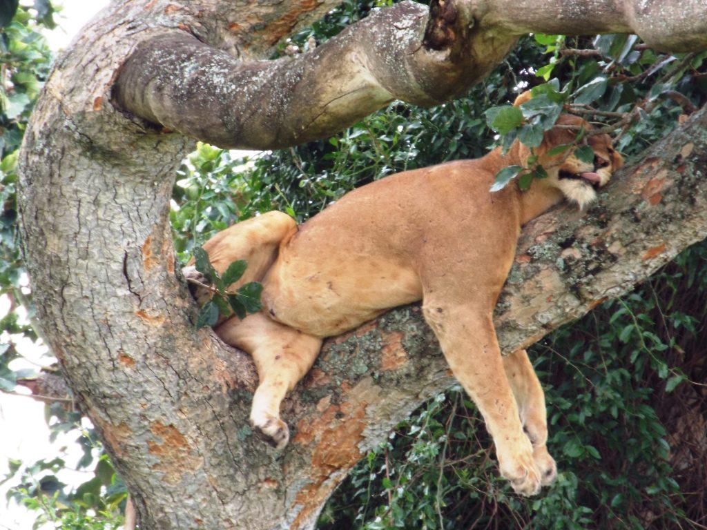 Uganda tree climbing lions - Chimpanzee in Kibale - Tour Itinerary for Uganda Chimpanzee, Wildlife Safari & Gorilla Trek Tour- 7 Days