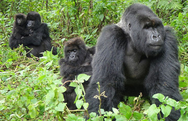 Mountain Gorillas Uganda - will I get refund for cancelling my Permit COVID19