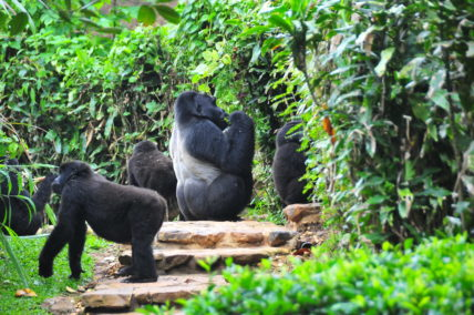 gorilla tracking, Uganda has 15 mountain gorilla group/ gorilla families habituated for gorilla trekking/tracking, gorilla habituation experience for Bwindi.