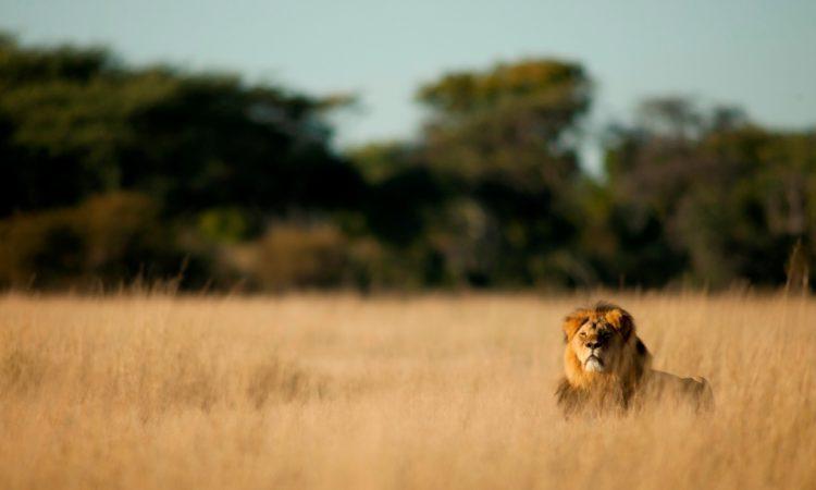 Uganda Lion Tracking Research Tracking in Queen Elizabeth National Park Uganda Gorillas and Wildlife Safaris