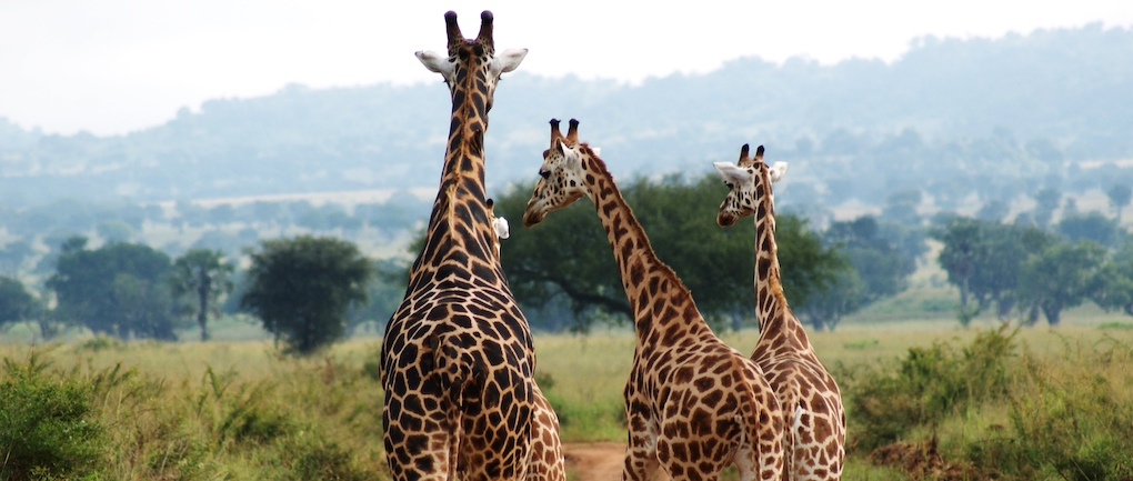 ugana safari kidepo wildlife giraffes