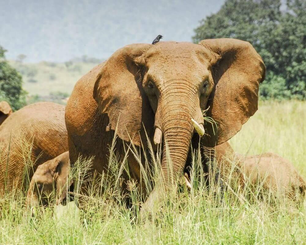 Uganda fly in safari -Kidepo fly-in safari wildlife flying gorillas and wildlife safaris