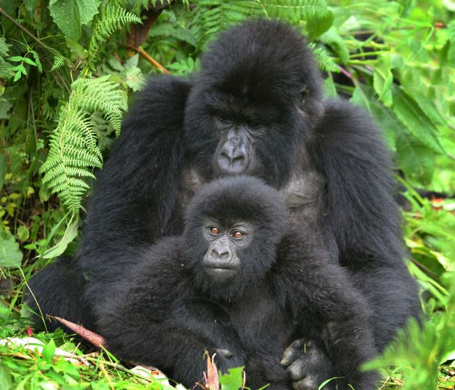Tracking Rushaga Gorilla Bwindi Impenetrable National Park Uganda Tours