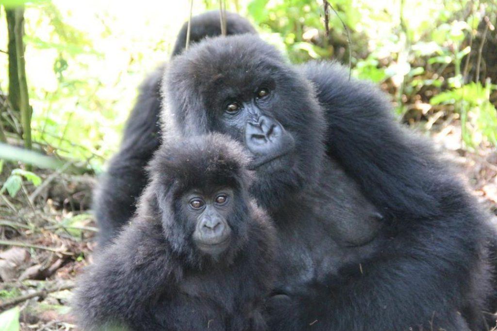 Uganda gorilla trek tour - tracking mountain gorillas