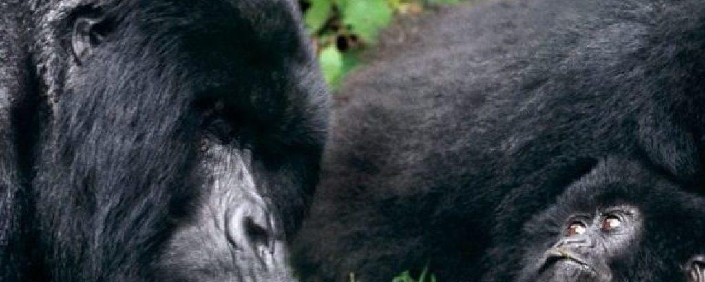 Uganda Gorilla Habituation Experience, Chimps & Monkeys Habituation, Lions Tracking Safari - 8 Days
