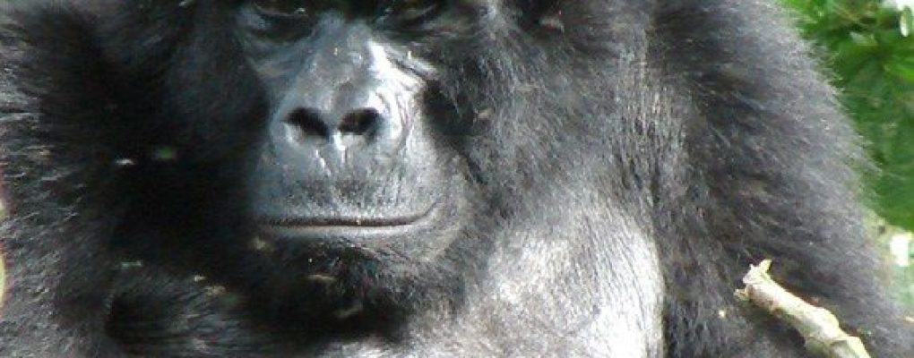 Uganda Gorillas and chimps habituation experience tour