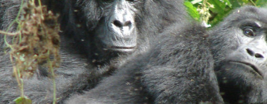 Fly in Uganda Gorilla Trekking Safari - 4 Days gorilla safari - Gorillas mating on fly in to gorilla tour Bwindi Gorillas and Wildlife Safaris