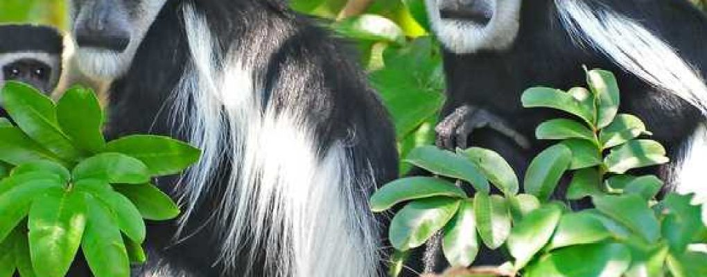 uganda primate safari Black and white colobus monkeys