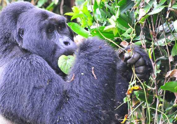 Mwirima silverback gorilla, Bwindi, Uganda