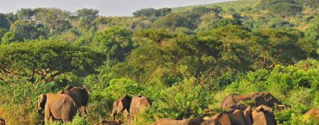Elephant herd, Murchison Falls National Park