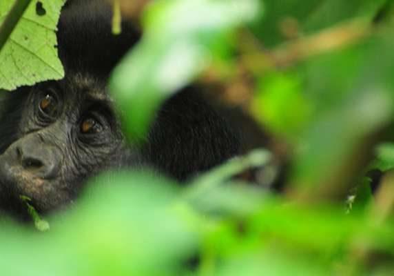 Gorilla, East Africa