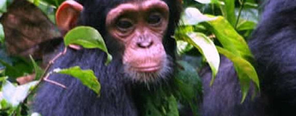 Uganda gorilla Chimpanzee wildlife safari tour, gorilla trek chimps tour Uganda safari primate trek Gorilas and Wildlife Safaris