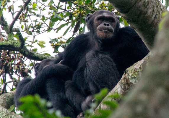 Chimpanzees in tree, Rwanda
