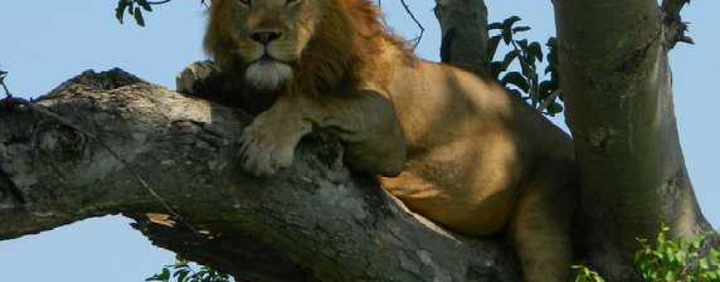 Tree-climbing lion, Ishasha, Queen Elizabeth National Park, ugandauganda gorilla trek wild game safari uganda