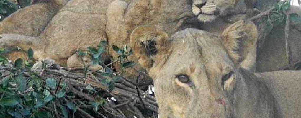 Tree climbing lions, Uganda