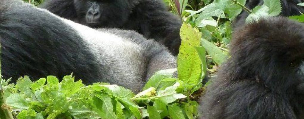 gorilla trekking uganda, affordable gorilla trek, lowest gorilla trek price US$ dollars, gorilla tracking tour price, price range gorilla trek, gorilla safari costs, uganda gorilla tracking safari, budget gorilla safari, uganda gorilla tour, uganda gorilla trek, gorilla permits uganda, gorilla tracking bwindi, luxury gorilla tour, uganda tour agent, primates uganda, private gorilla tour uganda