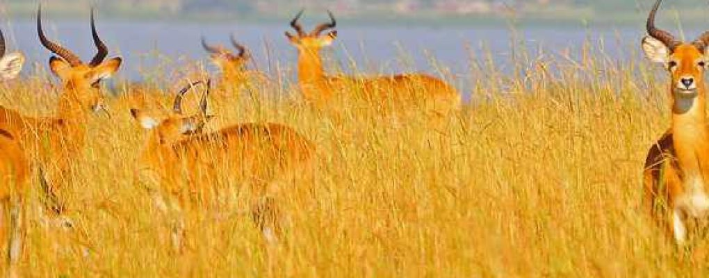 Uganda kob in the long grass