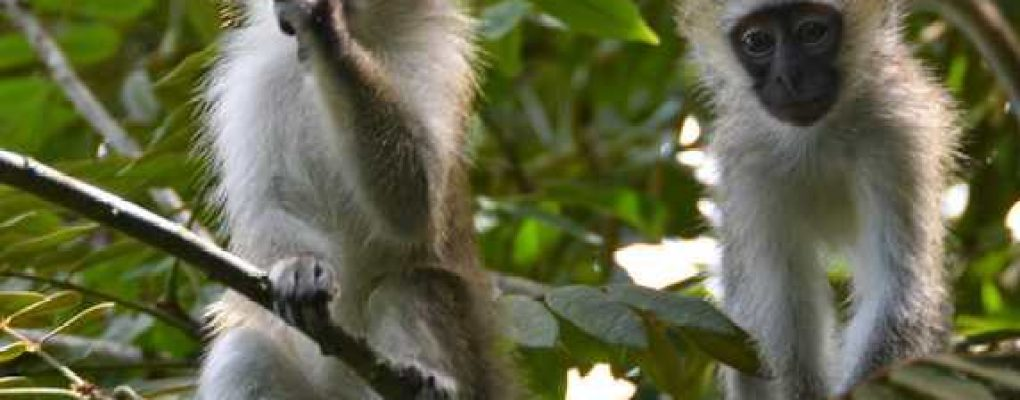 Vervet monkeys, Queen Elizabeth National Park, Uganda Gorillas and Wildlife Safaris