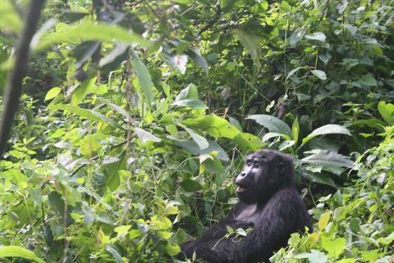 Gorilla Tour