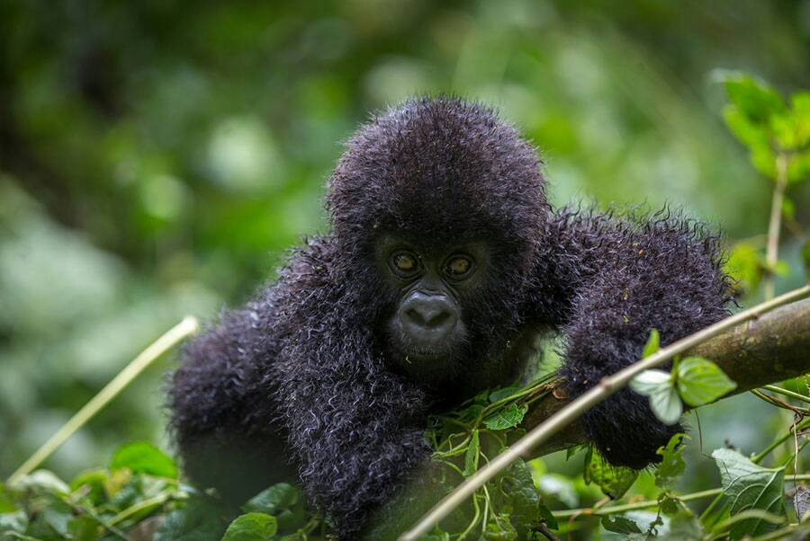 Which people are eligible for gorilla trekking in Uganda?