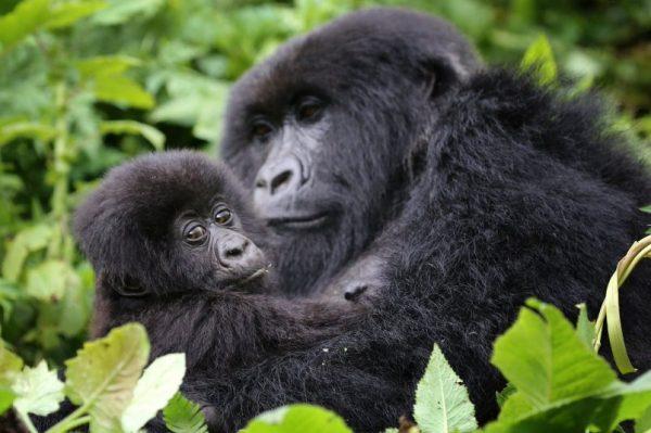 Gorilla Trekking Safaris Uganda