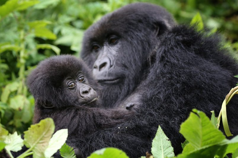 What is Gorilla Trekking?