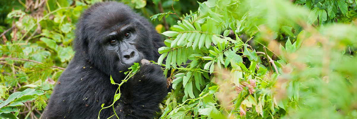 What do Mountain gorillas eat?