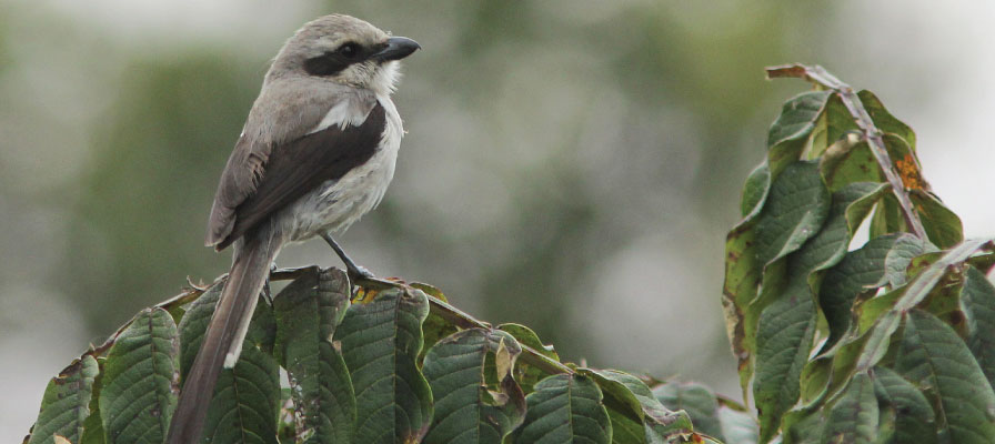 Mackinnons Fiscal - Bwindi Impenetrable Forest Birding Safari, Uganda Birding Safari, Bird watching in Uganda