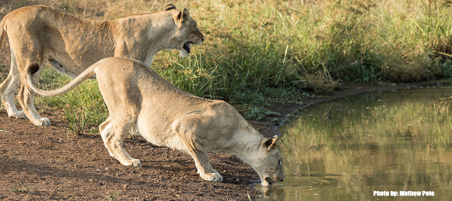One of the five lionesses destined for Akagera National Park. Credit: Matthew Poole