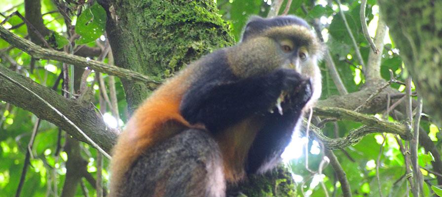 Lake Mburo Golden Monkey