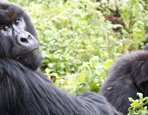 Bwindi Impenetrable Forest Jungle - Gorilla Family