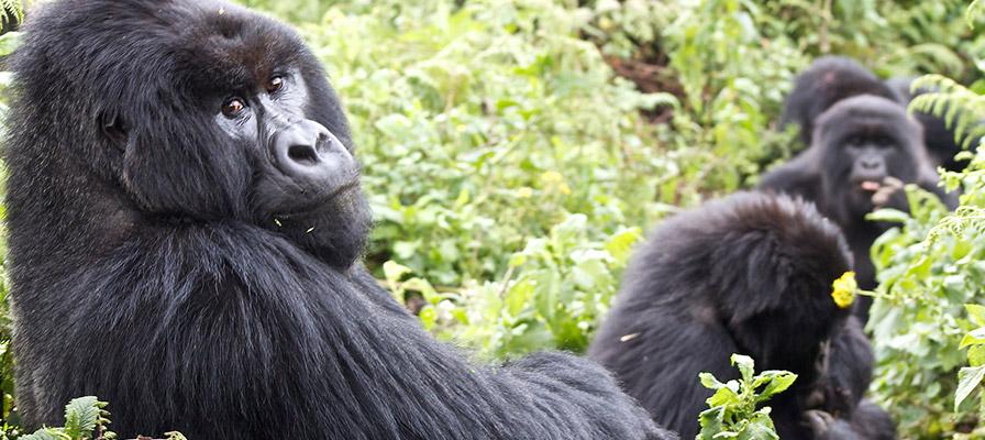 5 Day Primates Safari Uganda - Gorilla Safari