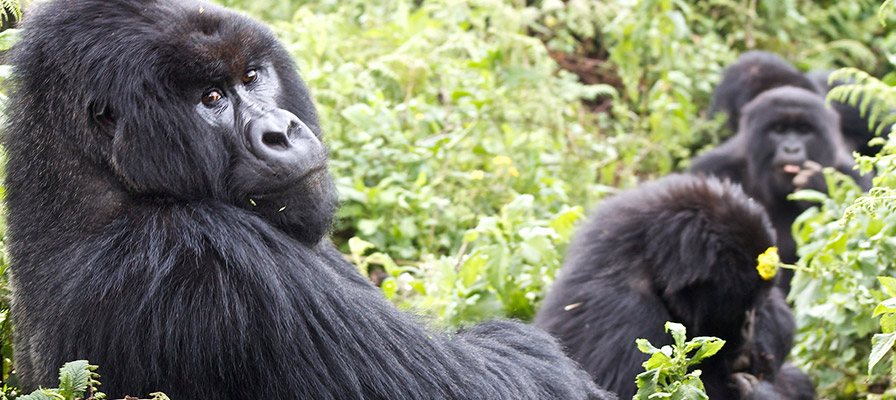 Bwindi Impenetrable Forest Jungle - Gorilla Family