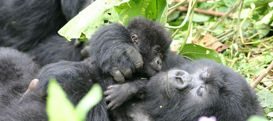 3 Day Rwanda Gorilla Safari - Rwanda gorilla trekking