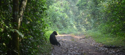 Kibale Forest National Park, Chimpanzee Tracking