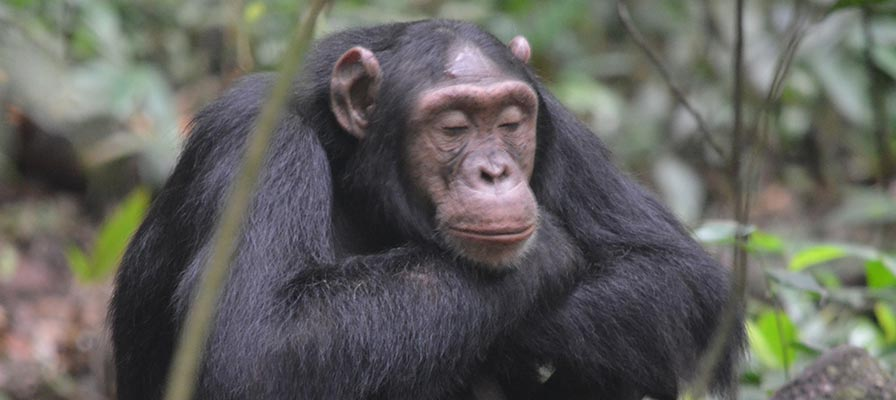 Kibale Chimp Trek Safari