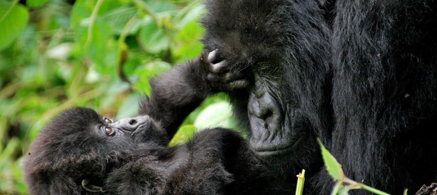 uganda gorilla trekking - mother gorilla