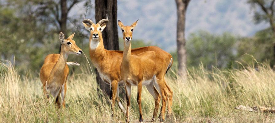 Queen Elizabeth National Park QENP - Wildlife Viewing & Gorilla Tracking Safari