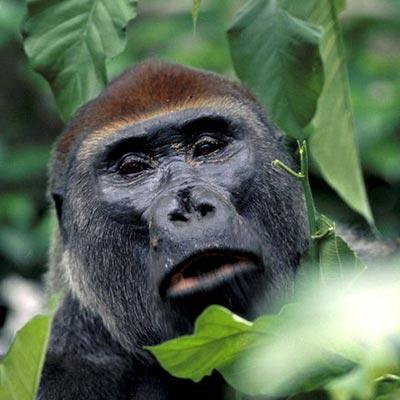 Western Lowland Gorilla in Congo