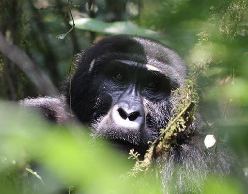 Uganda Gorilla Trekking: A Guidance For Gorilla Trekkers - trekking news