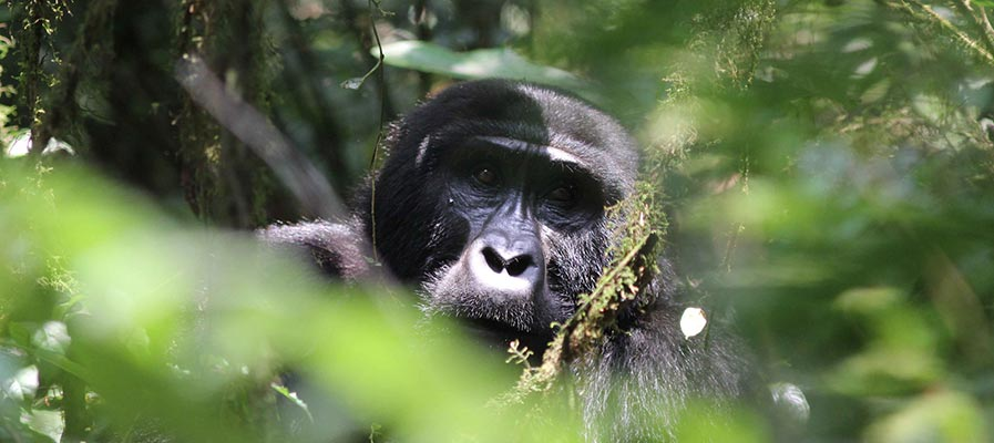 The Rwanda Gorillas, Golden Monkeys and Lake Kivu (5 Days)