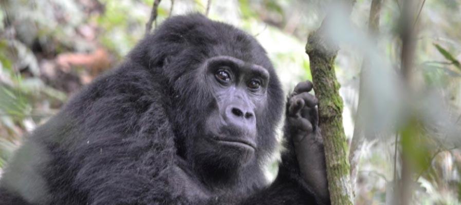 An adult female mountain Gorilla - 7 day Rwanda Uganda combined Gorilla Trekking Safari