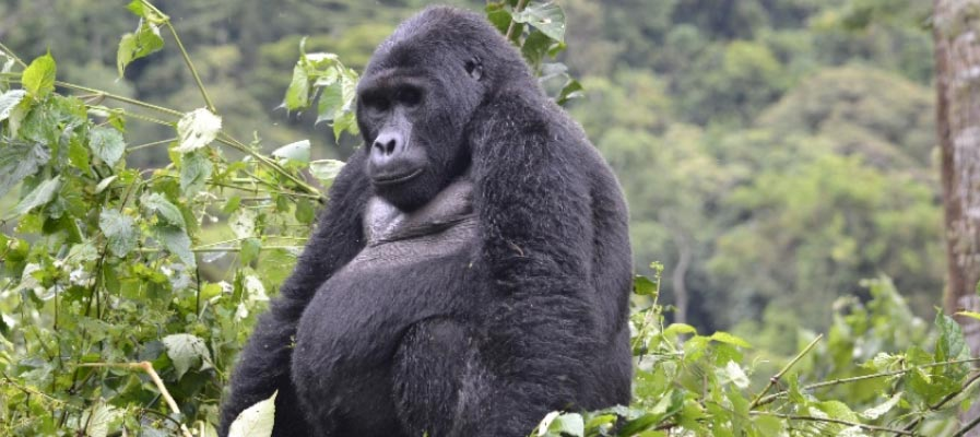 Combined 5 Day Rwanda and Uganda Gorilla Trek