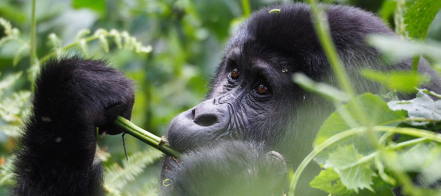 Gorilla tracking and Cultural exposure