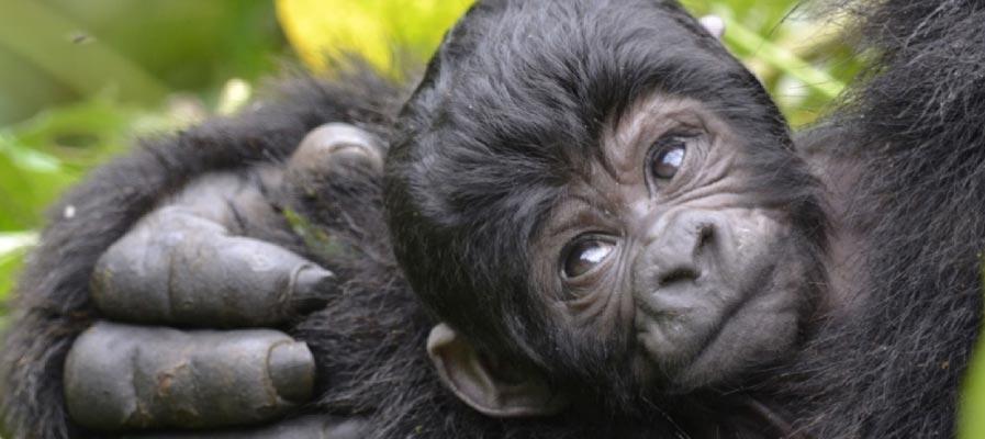 mountain gorilla age groups saso gorilla safaris uganda