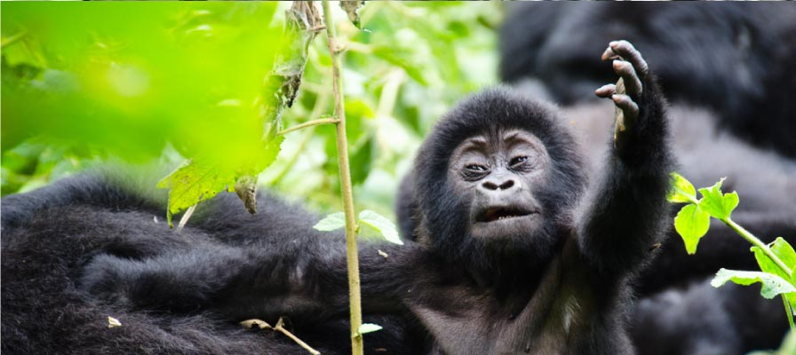 Gorilla Trek Uganda & Wildlife Safari