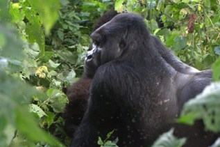 Silverback Kanamaharagi who is fighting for the group leadership